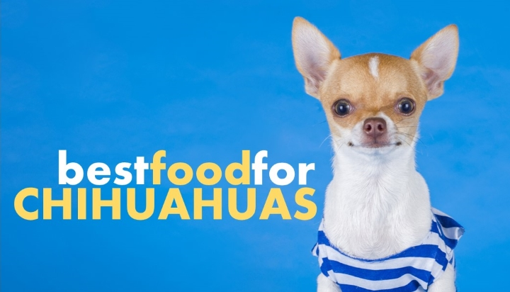 Best Dog Food For Chihuahuas And Which To Avoid Herepup