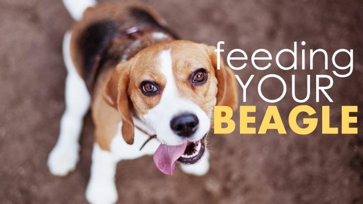 A Beagles Diet Best dog food for beagles