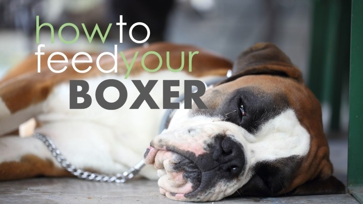Fat Boxer Dog Choose A Top 5 Food For Boxers 2019 Review