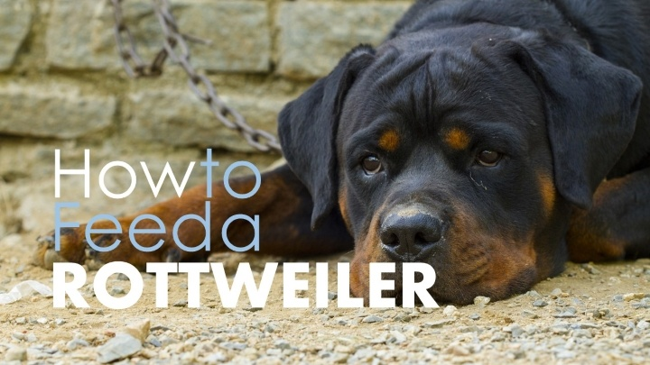 What The Best Dog Food To Feed A Rottweiler