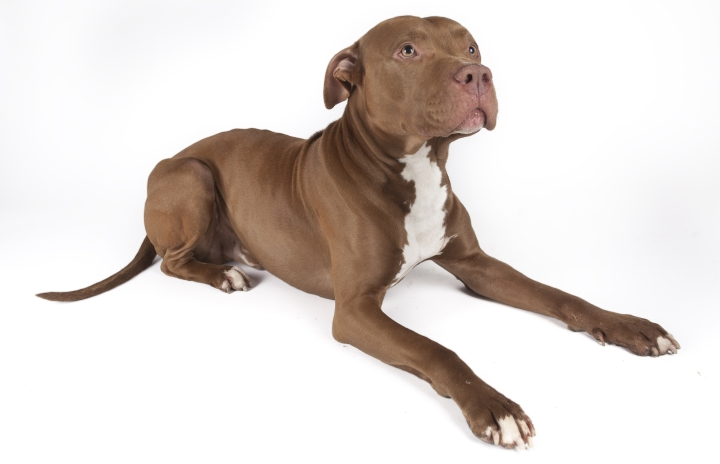 5 Best Pit Bull Puppy Food Adult Food 2019 Rating