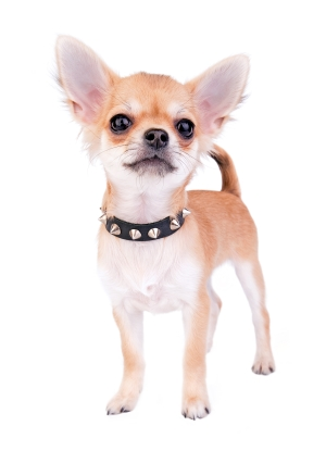 Best Dog Food For Adult Chihuahuas