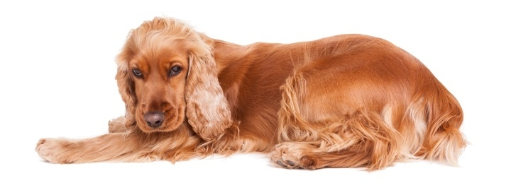 cocker spaniel dog clipper reviews