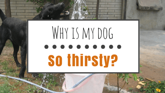 Excessive thirst in dogs