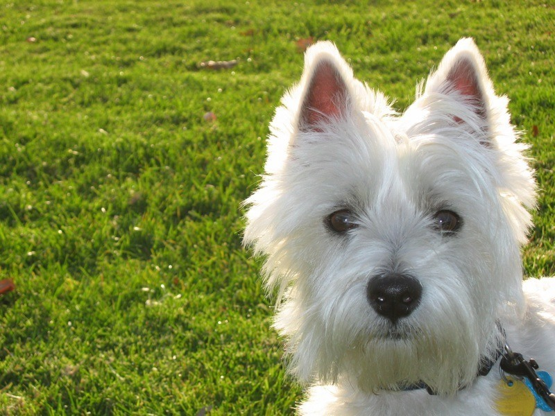 Best Dog Food For Westies Fuel For Energetic Terriers