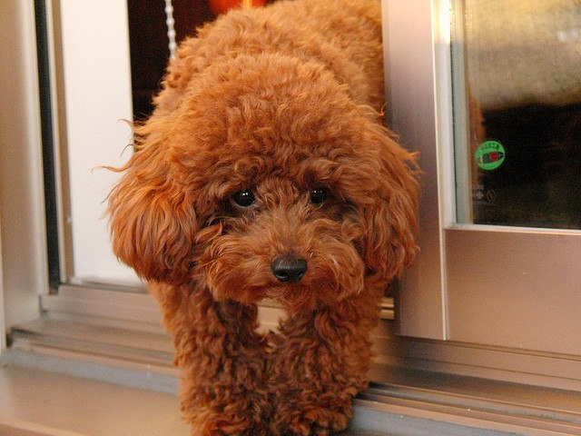 Toy poodle diet and nutrition