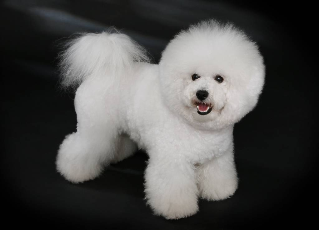 Best Dog Food for Bichon Frise
