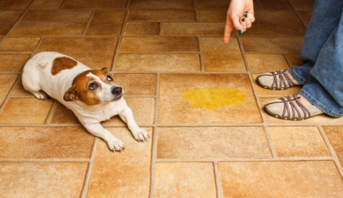 5 Reasons Your Dog is Peeing in the House petMD