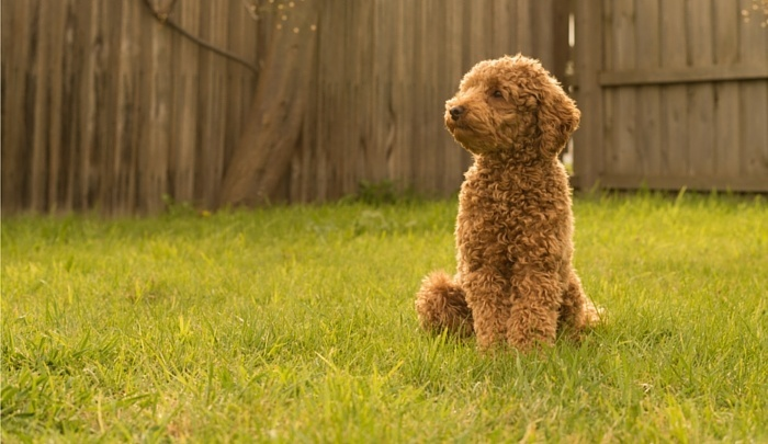Best dog food for toy poodles
