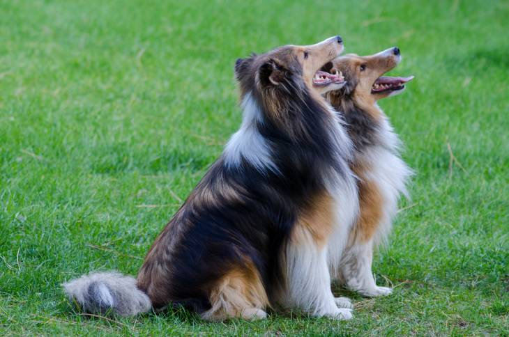 Sheltie dog food recommendations