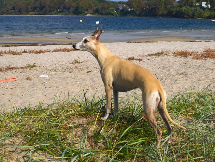 Whippet dog food reviews and diet