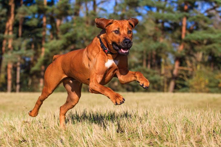 Rhodesian Ridgeback dog food reviews