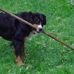 Bernese Mountain Dog Diet and Health