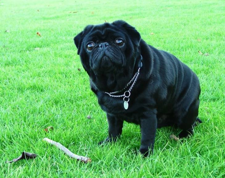 Reviews of dog food for pugs