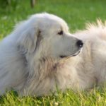 Best Dog Food for Great Pyrenees Diet