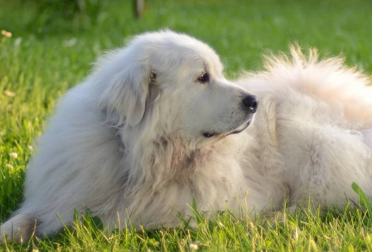 How to feed a great pyrenese