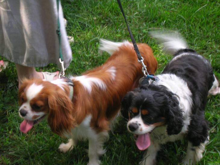 Best Dog Food for Cavalier King Charles Spaniels diet