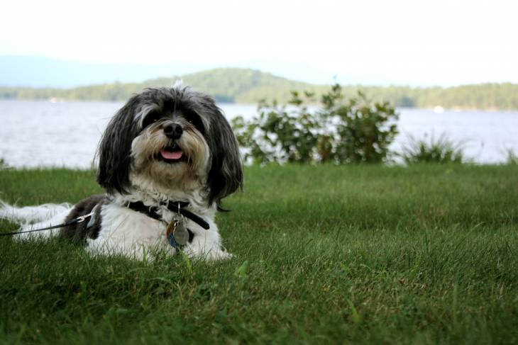 Havanese dog food recommenations and reviews