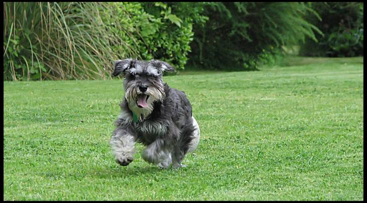 Miniature Schnauzer food reviews
