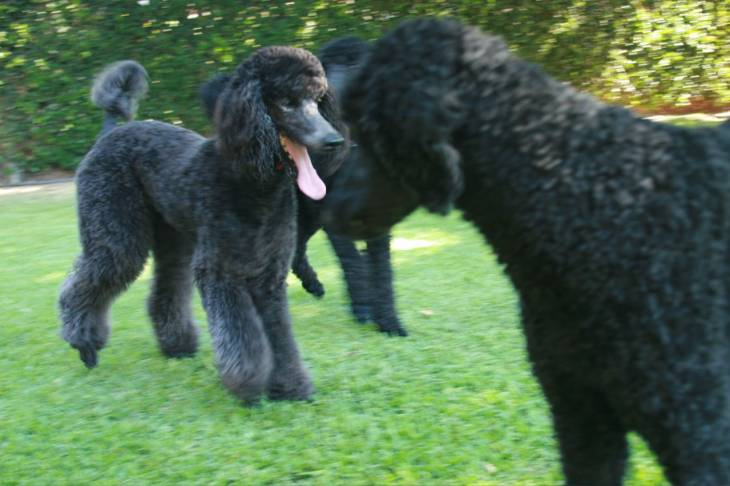 Poodle dog food reviews and recommendations