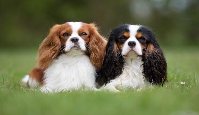 Best Dog Food for Cavalier King Charles Spaniels