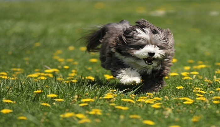 The Best Dog Food for Havanese: Small Dog, Big Nutrition ...