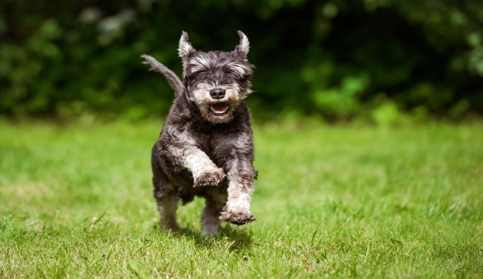 What S The Best Dog Food For Miniature Schnauzers
