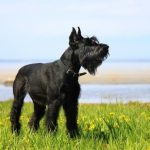 Best Dog Food for Schnauzers