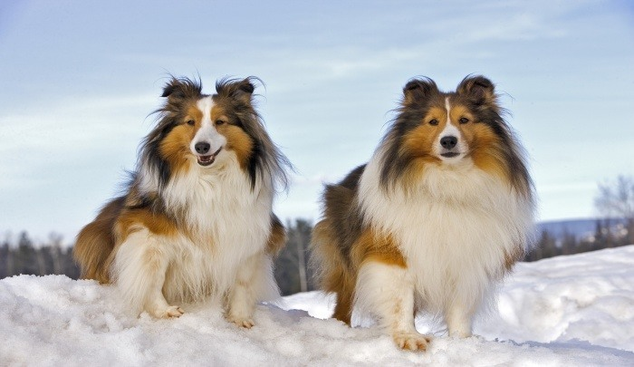 Best Dog Food for Shelties