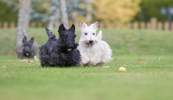 Best Dog Food for Wheaten Terriers