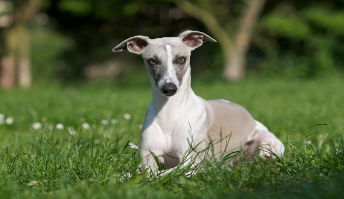 Best Dog Food for Whippets