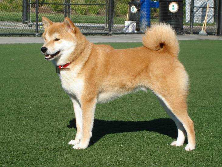 Dog Breeds with Curly Tails: The Basics Behind the Bend ...