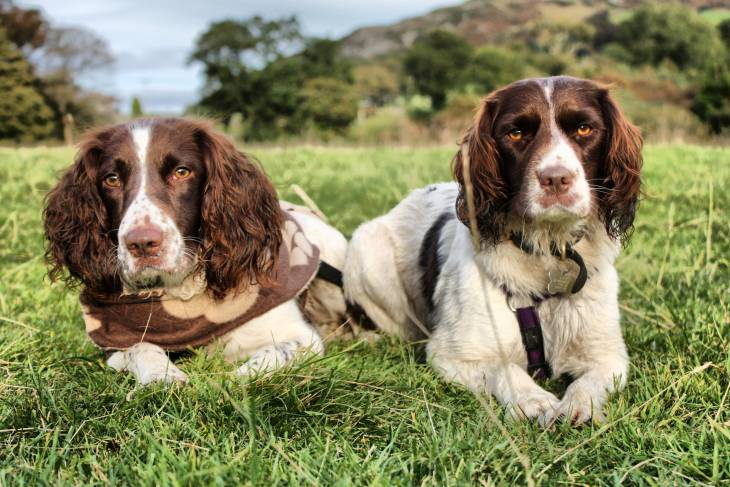 Best Dog Food For English Springer Spaniels