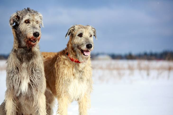 Best Dog Food for Irish Wolfhounds