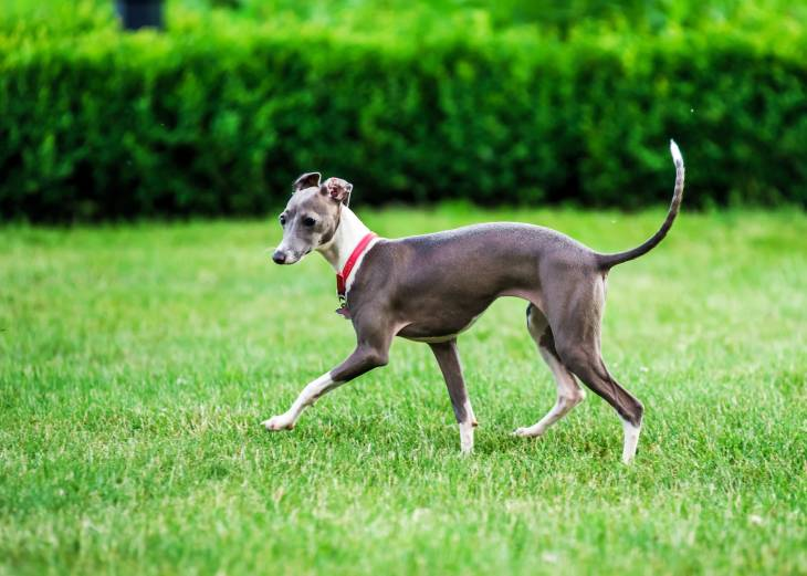 What Is The Best Dog Food For Italian Greyhounds