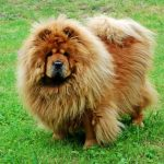 best dog food for chow chows