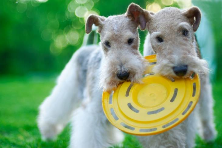 best dog food for fox terriers