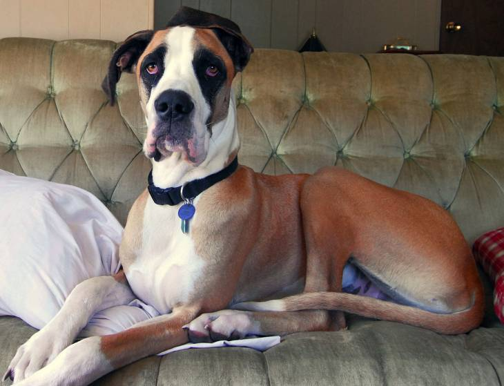 Great Dane Facts 2