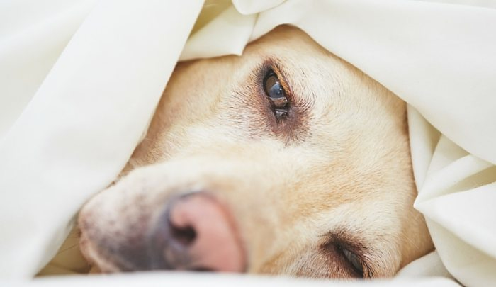 How To Treat Hge In Dogs