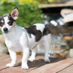 Best Dog Food for Rat Terriers