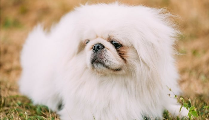 Best Dog Food for Pekingese