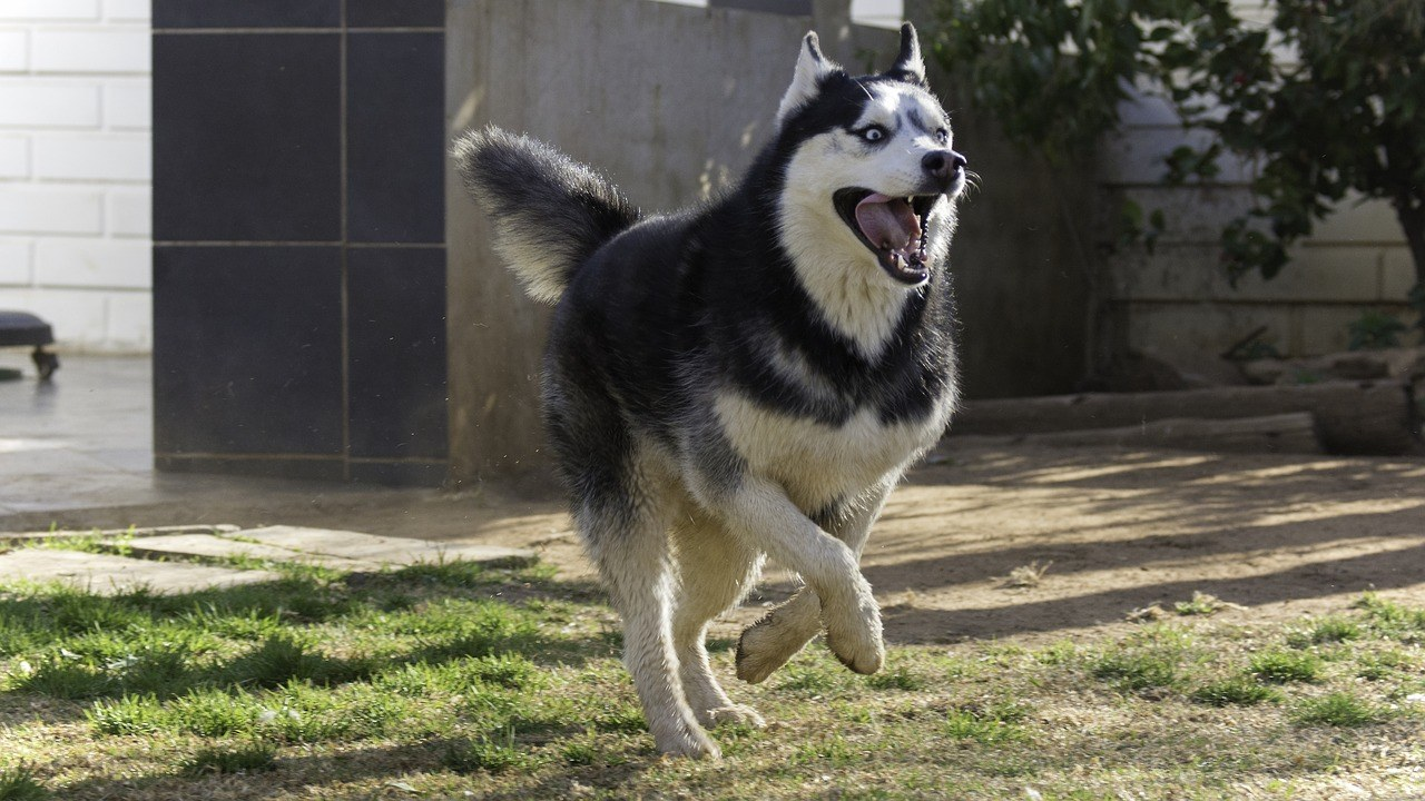 The best dog food for siberian huskies from puppy to adult