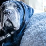 How Much Does a Cane Corso Cost