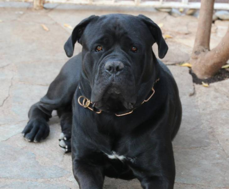 How Much Does a Cane Corso Cost 2