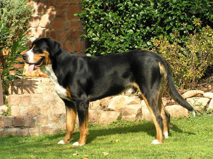 How Much Does a Greater Swiss Mountain Dog Cost 2