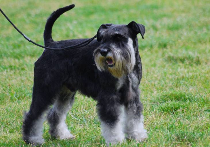 How Much Does a Miniature Schnauzer Cost 2