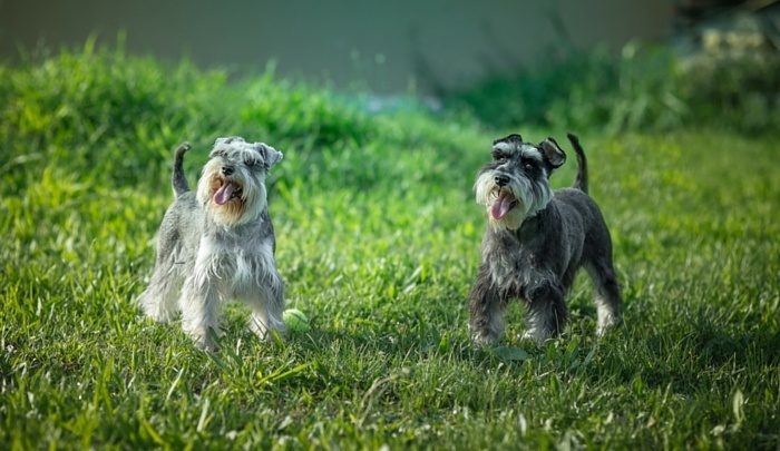 How Much Does a Miniature Schnauzer Cost