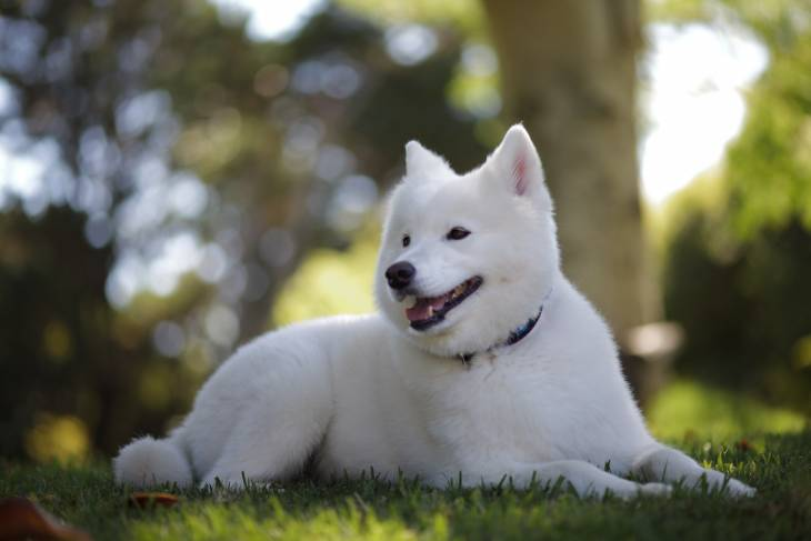 How Much Does a Samoyed Cost 2