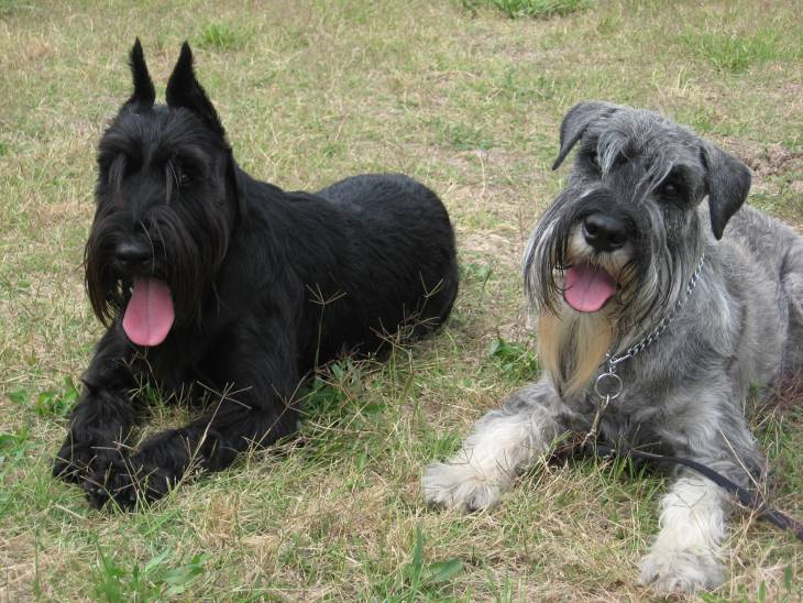 Pup Pricing How Much Does A Standard Schnauzer Cost