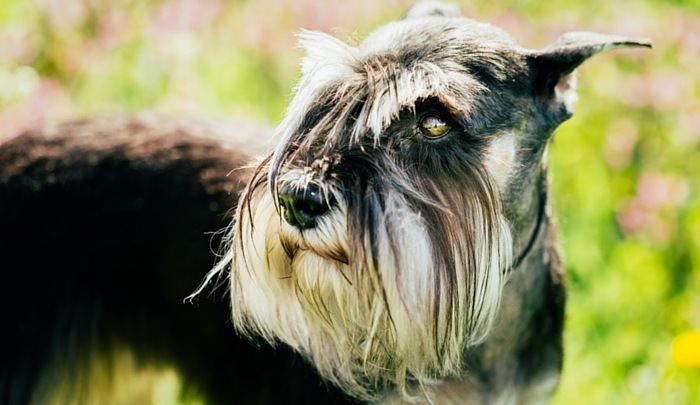 How Much Does a Standard Schnauzer Cost